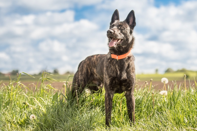 Dutch Shepherd on grass with blue sky in the background