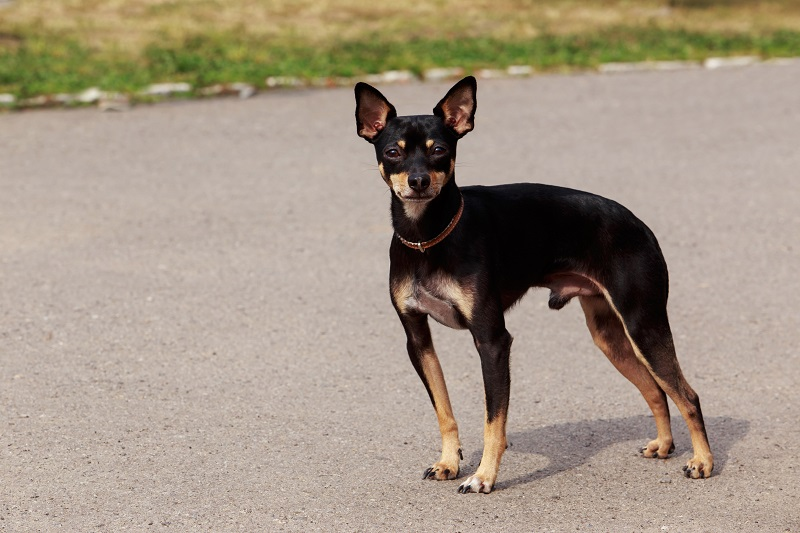 The dog breed Manchester Toy Terrier