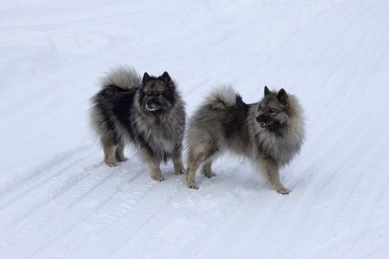 Dogs of the breed Keeshond,