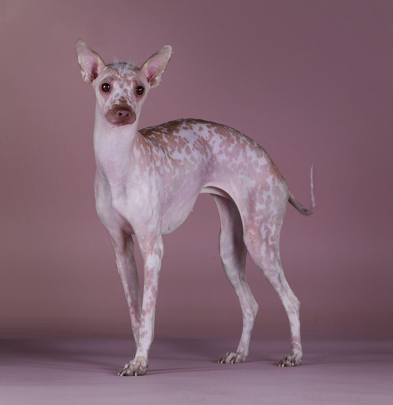 Skinny Peruvian Hairless Dog