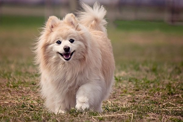 pomeranian for seniors and retirees-also good dog breed for first time owners