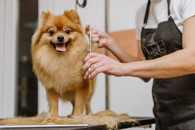 grooming of a Pomeranian dog