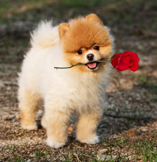 pomeranian most expensive dog breed pictures