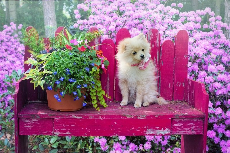 pomeranian surrounded by flowers