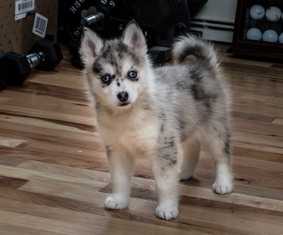 pomsky dogs have rare eye colors