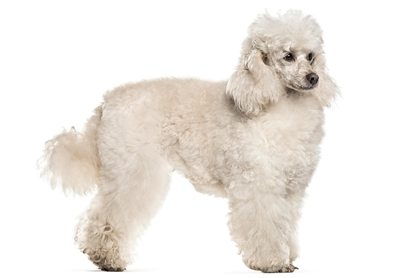 Poodle isolated on white background