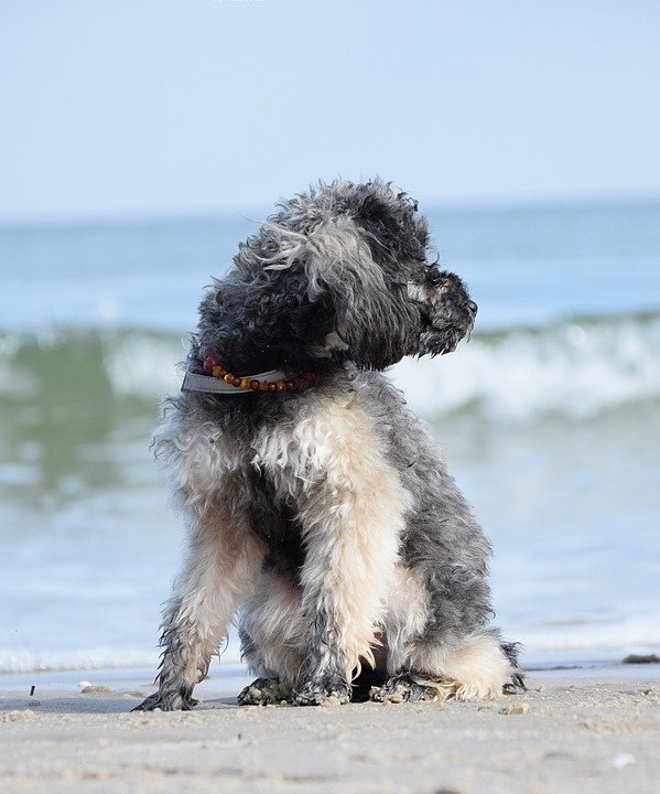 poodles-love-the-beach