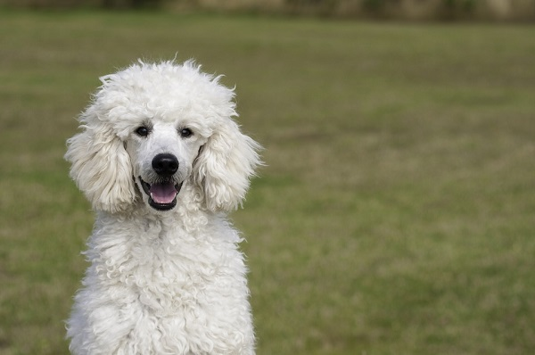 poodles make great pets for seniors and retirees