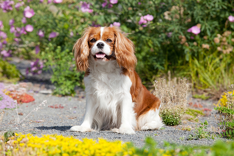 Long haired Cavalier King Charles Spaniel sitting in the yard