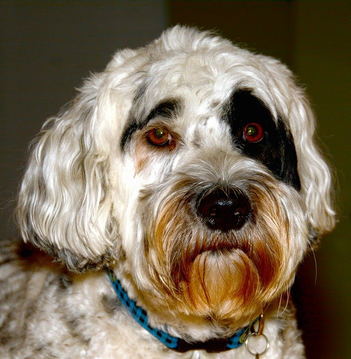 Portuguese Water Dog close up