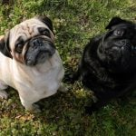 pug dogs in fawn and black colors