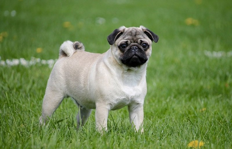 Pug standing on grass on lawn