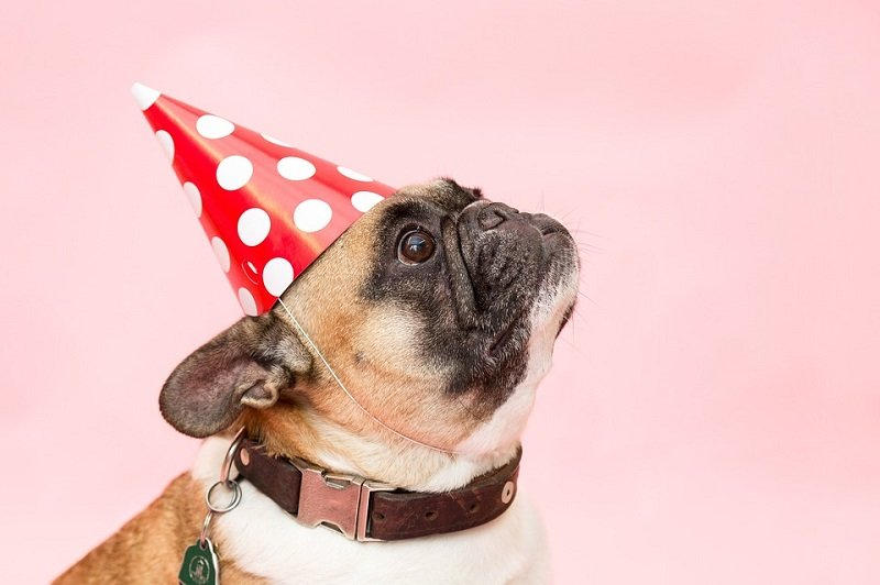 a pug dog with party hat