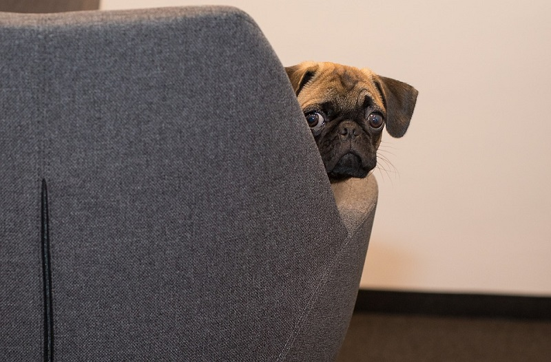 pug sitting on couch