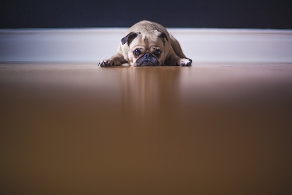 pug is a lazy dog breed ideal for apartment dwellers
