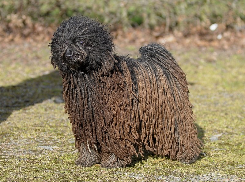 Brown Puli standing on grass