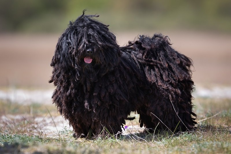 A purebred Puli dog without leash outdoors in the nature on a sunny day