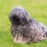 Gray hungarian puli dog in the green park