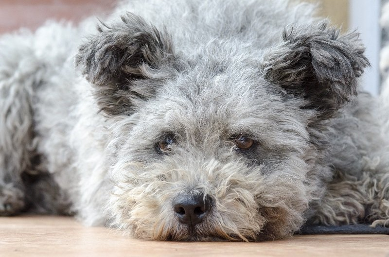 Pumi dog, a Hungarian herding dog
