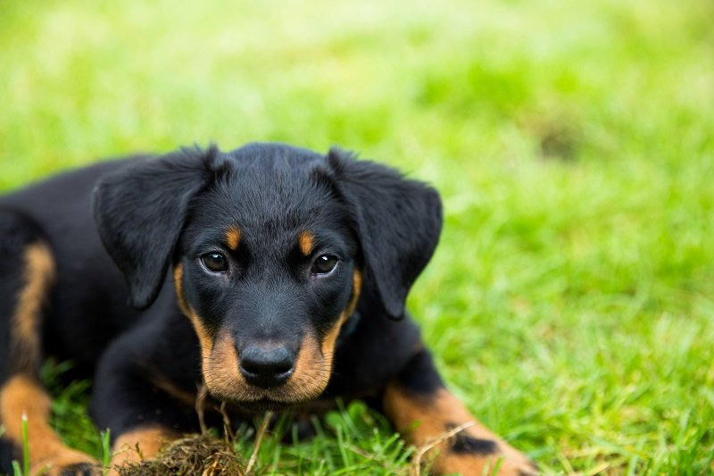 puppy beauceron