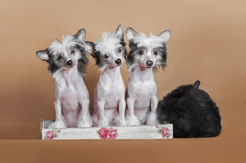 chinese crested dog puppies sitting on the ginger background