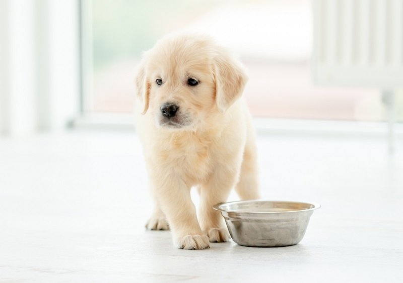 Lovely retriever puppy sits near bowl on light background