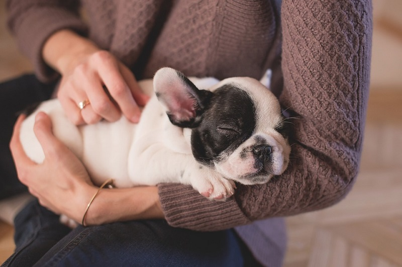 Bulldog puppy sleeping in woman's arms