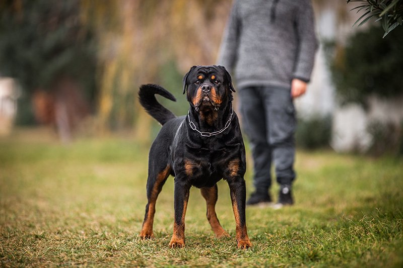 Rottweiler with dog owner in the background