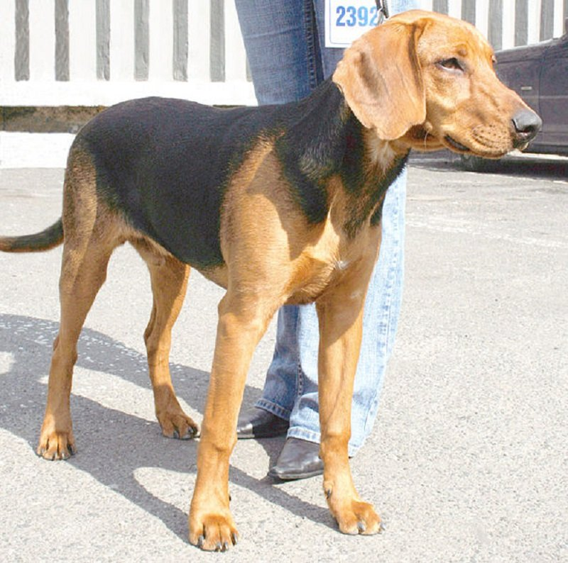Brown and black Schiller Hound standing next to owner