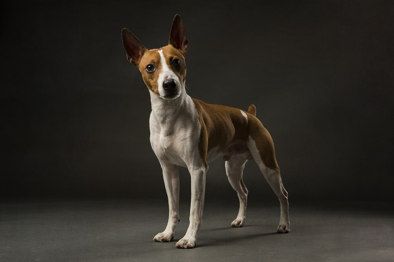 Red and White rat Terrier standing