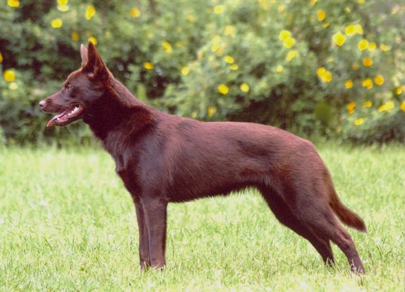 Australian Kelpie dog with red color