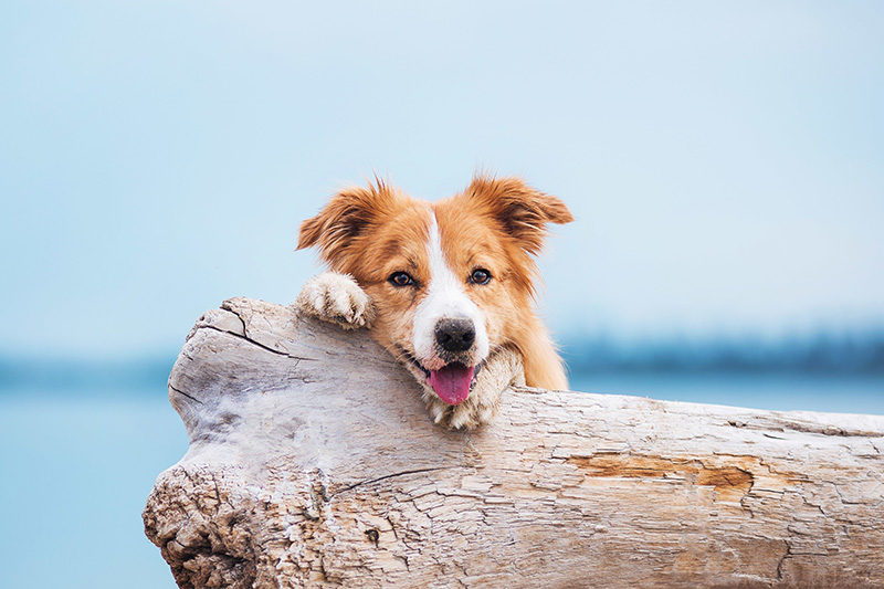 Border Collie behind tree stump on the beach