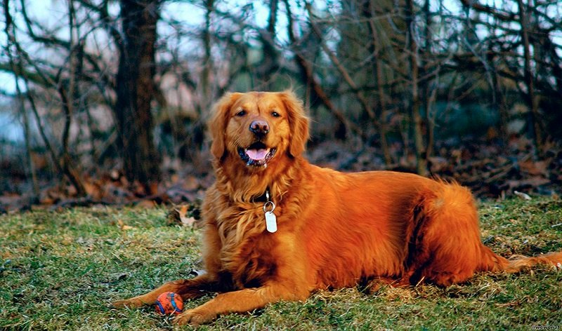 Golden retriever with red colored fur