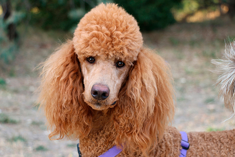 Portrait of red Standard Poodle