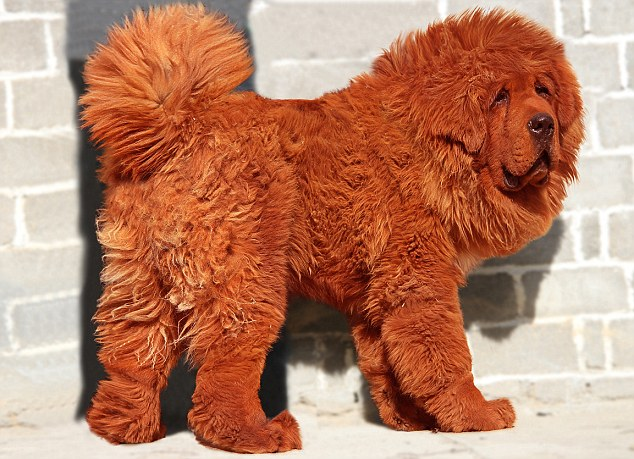 red tibetan mastiff most expensive dog ever sold