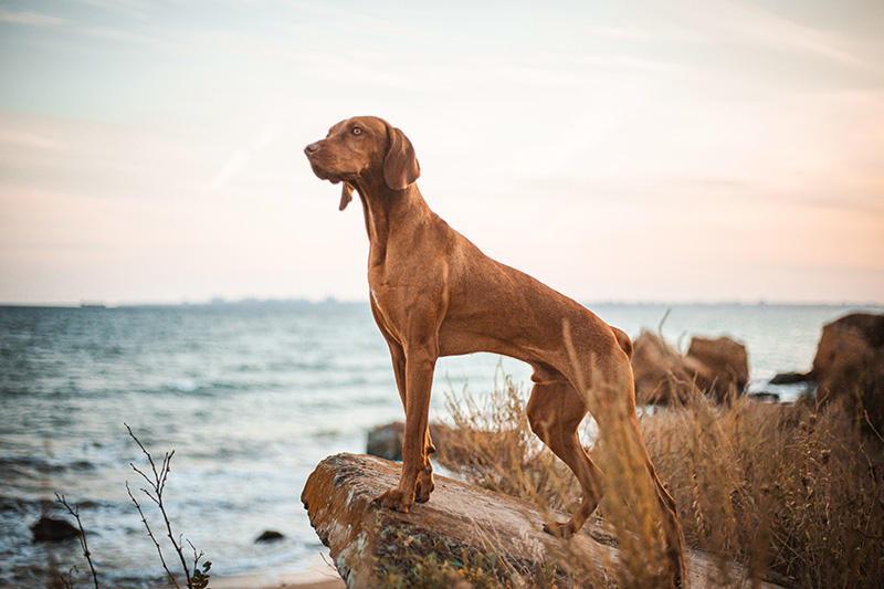 Red Vizsla standing on a stone near the sea