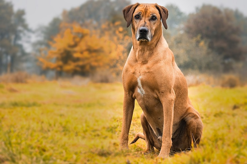 rhodesian ridgeback excellent personal protection dog breed