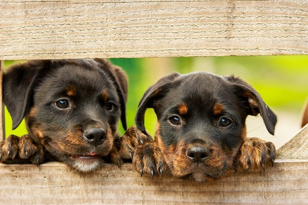 Two Rottweiler puppies looking through wooden fence