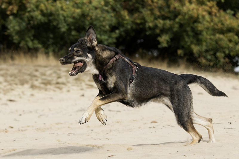 Shepweiler running in sand at the beach