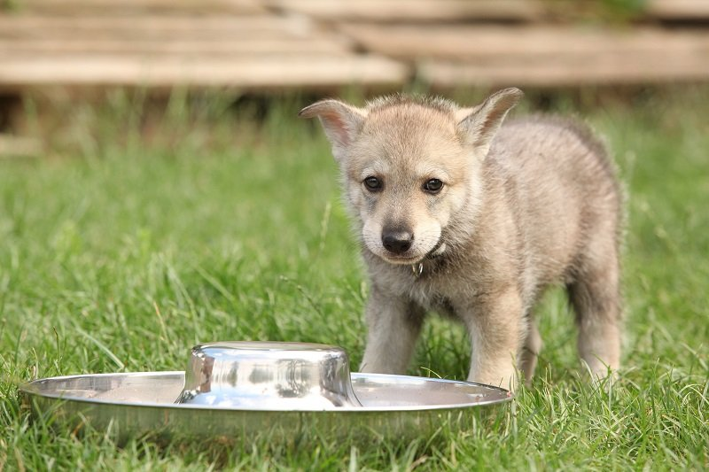 Cute Saarloos wolfhound puppy with dog's bowl