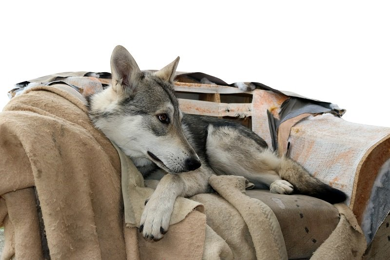 saarloos wolfdog in his armchair