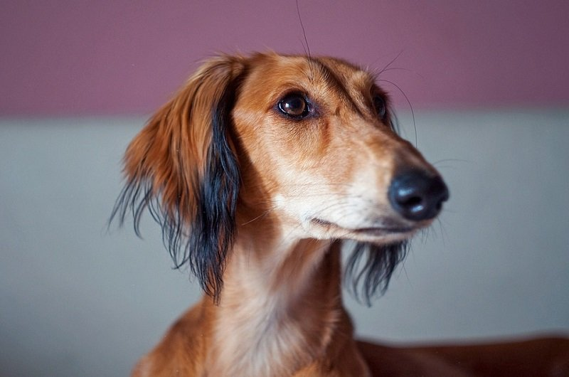 brown saluki puppy looks on curiously
