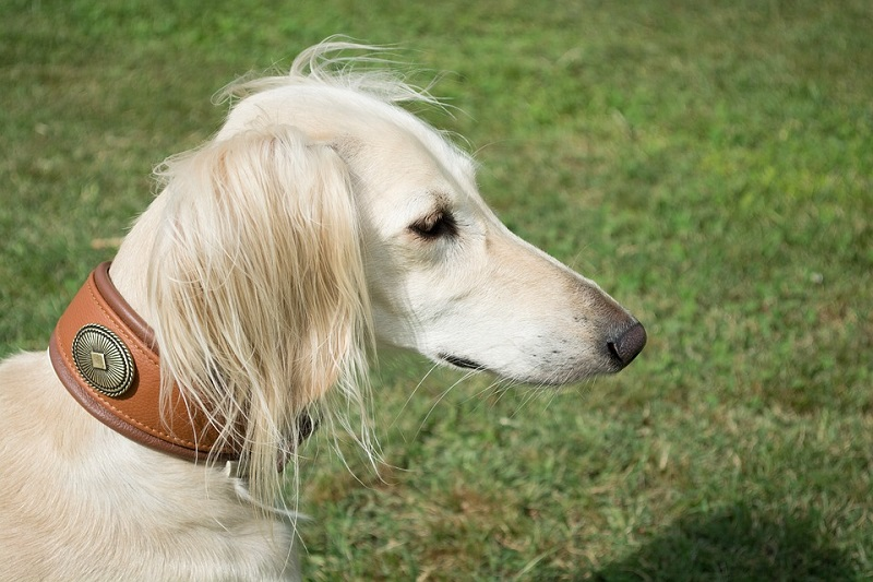 white color saluki with brown leather collar