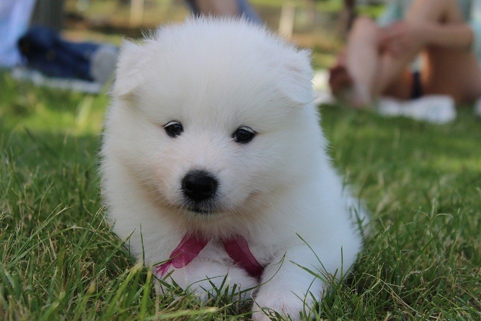 samoyed puppy training