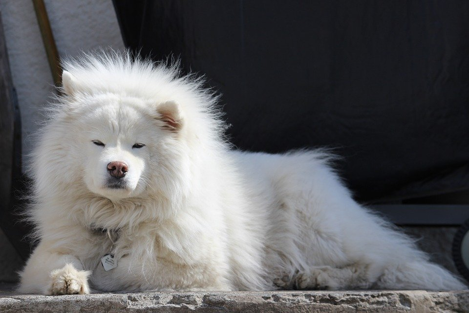 samoyed grooming and shedding