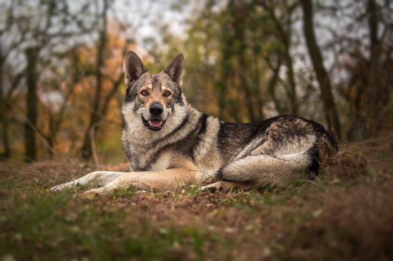 Saarloos wolfdog in the forest