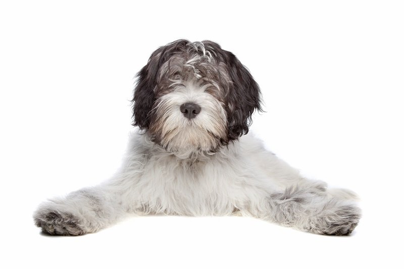 Dutch Sheepdog isolated on white background