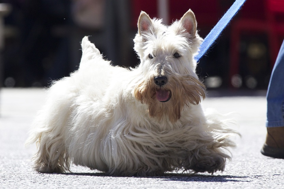 scottish terrier hypoallergenic