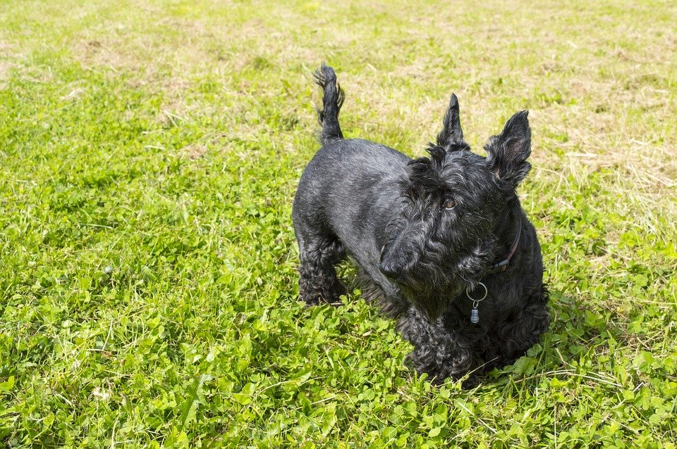 black scottish terrier standing on grass looking to the side