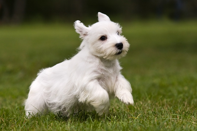 Sealyham Terrier portrait on grass